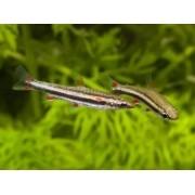 Peixe Lápis | Nannostomus trifasciatus