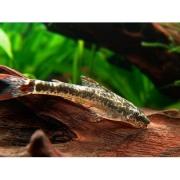 Peixe Limpa Vidro de Cauda Vermelha | Parotocinclus maculicauda