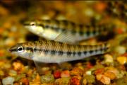 Peixe Mocinha | Characidium fasciatum