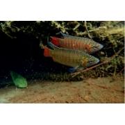 Peixe Paraíso | 3 a 5 cm | Macropodus opercularis