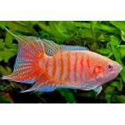 Peixe Paraíso Albino | 3 a 5 cm | Macropodus opercularis