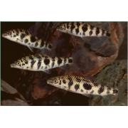 Piau Octomaculatus | 3 a 4 cm | Leporinus octomaculatus
