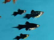 Plati Negro Seta | Xiphophorus Machulatus | Poecilídeos