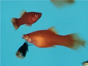 Plati Red Coral Seta | Xiphophorus Machulatus | Poecilídeos