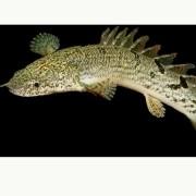 Polypterus Delhezi | 7 a 8 cm
