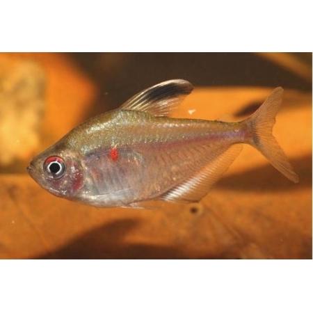 Rosaceo | Hyphessobrycon socolofi