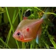 Rosaceo Vermelho | Hyphessobrycon erythrostigma