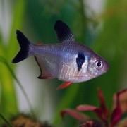 Tetra Black Phanton | Hyphessobrycon megalopterus