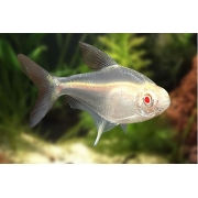 Tetra Limão Albino |2,5 a 3 cm|  Hyphessobrycon pulchripinnis