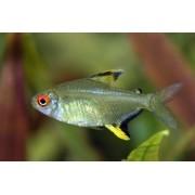 Tetra Limão | Hyphessobrycon pulchripinnis
