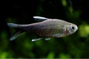 Tetra Nego D'água | 2 cm a 3 cm | Hyphessobrycon negodagua
