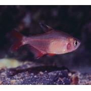 Tetra Nordeste | Hyphessobrycon micropterus