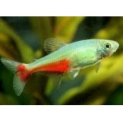 Tetra Red Belly | Aphyocharax rathbuni