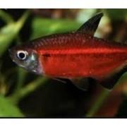 Tetra Red Laser | Hemmigramus coeruleus