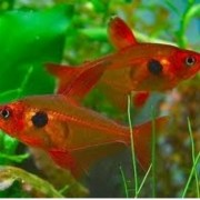 Tetra Red Phanton | Hyphessobrycon sweglesi