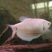 Tricogaster Rosa | Trichogaster trichopterus