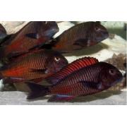Tropheus Moorii Red Moliro | 3 a 5 cm | Lago Tanganica