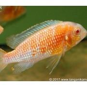 Tropheops Red Cheek Albino