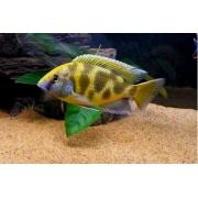 Venustus| 3 a 4 cm|  Nimbochromis venustus