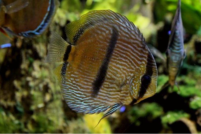 Acará Disco  Heckel   Symphysodon discus   14 a 16cm  - KAUAR