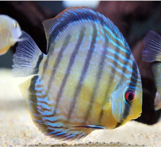 Acará Disco Selvagem Blue | Symphysodon discus | 14 a 16cm  - KAUAR