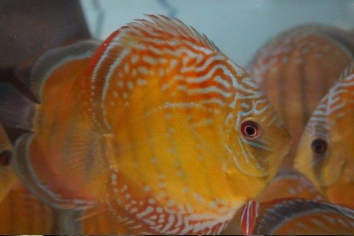 Acará Disco Selvagem Orange Nhamunda | 14 a 16 cm | Symphysodon Aequifasciatus  - KAUAR