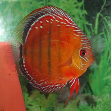 Acará Disco Selvagem Red Nhamunda | 14 a 16 cm  - KAUAR