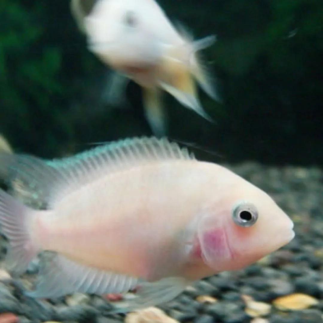 Acará do Congo Rosa   Amatitlania nigrofasciata  - KAUAR