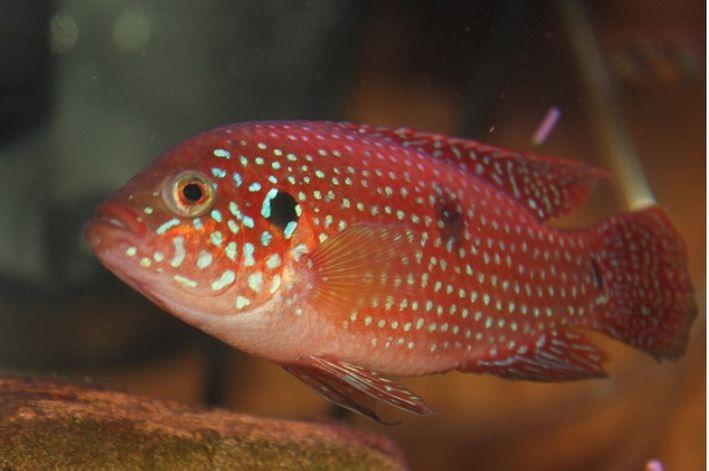 Acará Joia | 5 a 6 cm | Hemichromis bimaculatus  - KAUAR