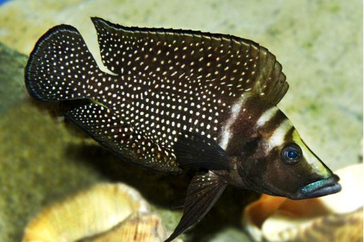 Altolamprologus Calvus | Calvus Black | 2 a 4 cm  - KAUAR