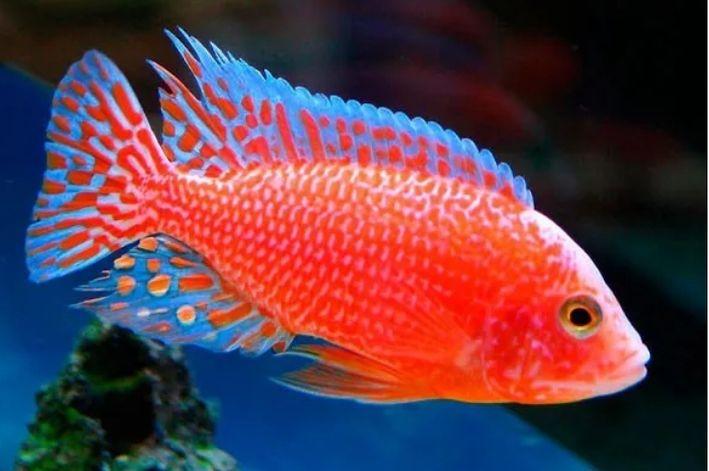 Aulonocara Fire Fish 5 a 7 cm   Ciclídeos Africanos   Lago Malawi  - KAUAR