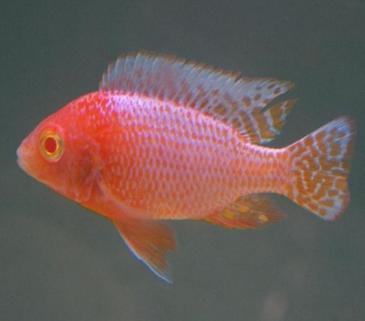 Aulonocara Fire Fish Albina 5 a 7 cm | Ciclídeos Africanos | Lago Malawi  - KAUAR