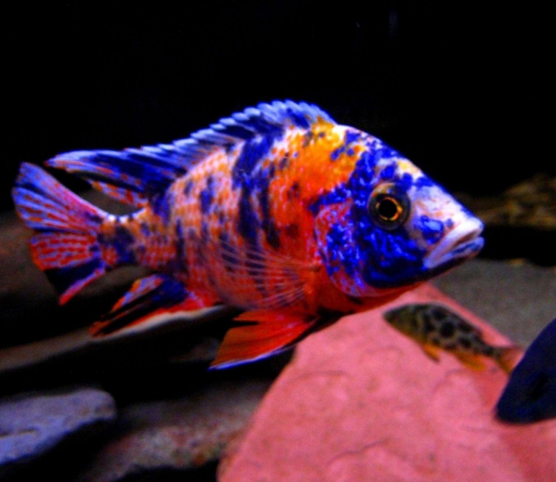 Aulonocara Orange Blue  5 a 7 cm | Ciclídeos Lago Malawi  - KAUAR