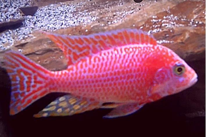 Aulonocara Pink 5 a 7cm | Ciclídeo Africano | Lago Malawi  - KAUAR