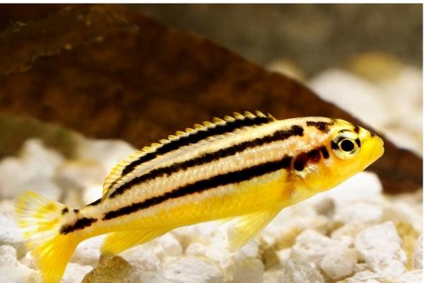 Auratus Amarelo | Melanochromis auratus   - KAUAR