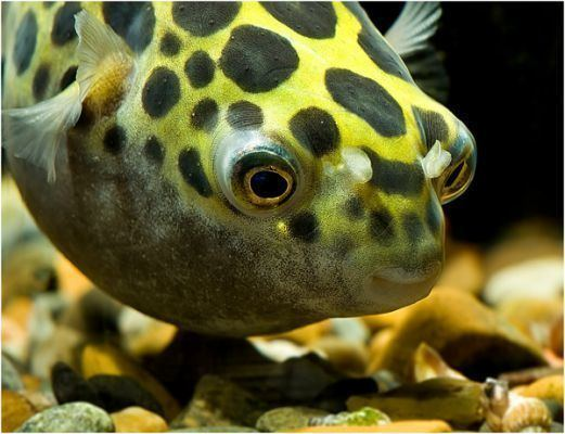 Baiacu Spotted  | Spotted Puffer | 4 a 6 cm | Tetraodon Nigroviridis  - KAUAR