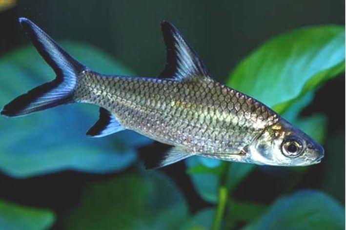 Balashark | Balantiocheilos melanopterus  - KAUAR