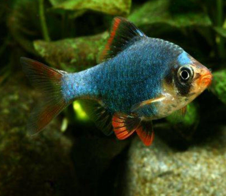 Barbus Sumatra Verde | Puntius Tetrazona  - KAUAR