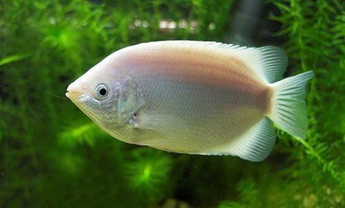 Beijador | Helostoma temminkii | 4 cm a 6 cm  - KAUAR