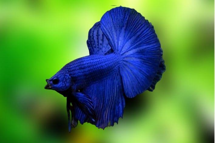Betta Blue Dragon Casal   - KAUAR