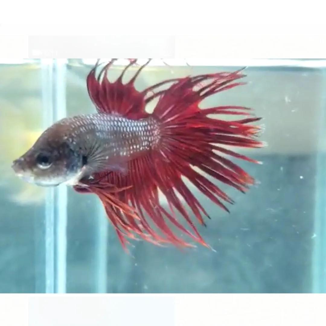 Betta Crowntail Red Casal   - KAUAR