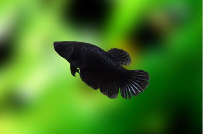 Betta Negro Fêmea  - KAUAR
