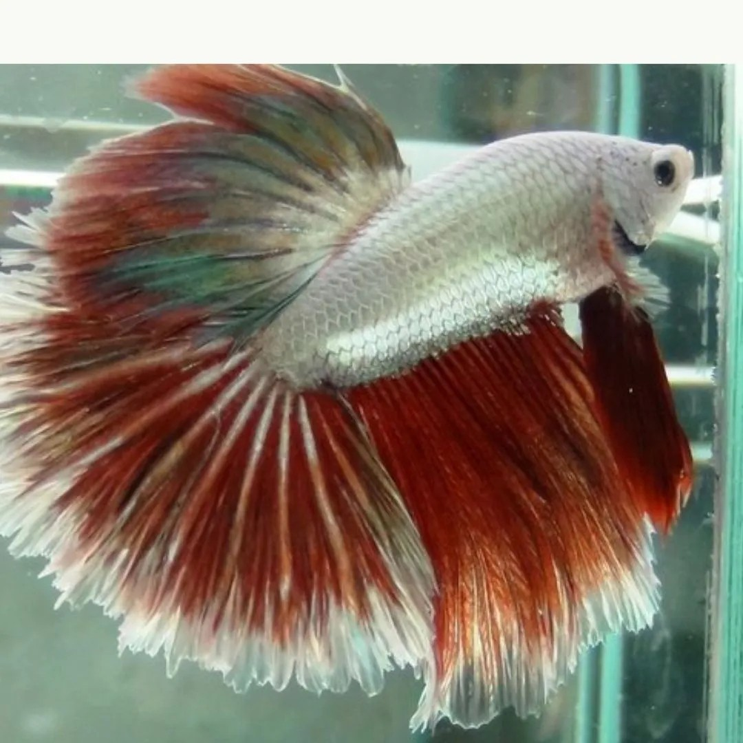 Betta Red Dragon Casal   - KAUAR