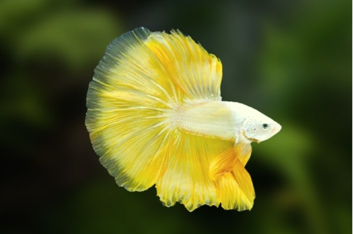 Betta Yellow Dragon Casal   - KAUAR