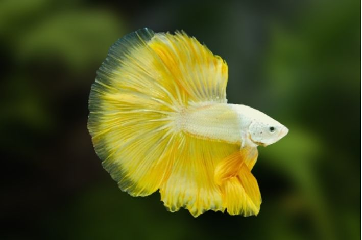 Betta Yellow Dragon Macho  - KAUAR