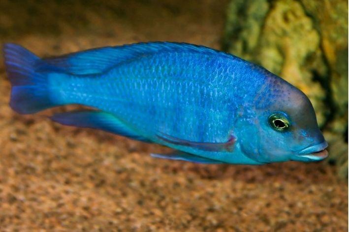 Blue Golfinho   4 a 5 cm  Cyrtocara Moorii   - KAUAR