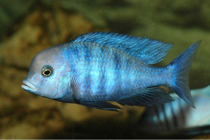 Blue Golfinho |Cyrtocara Moorii  - KAUAR