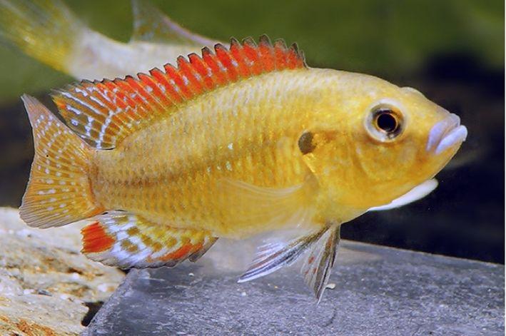 Boca Azul | Pseudocrenilabrus philander | 4 cm a 6 cm  - KAUAR