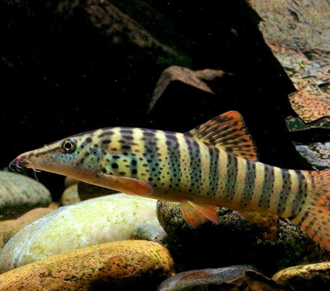 Botia Red Fin Tiger | Syncrossus berdmorei  - KAUAR