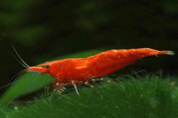 Camarão Red Sakura | 1 a 2 cm | Neocaridina davidi  - KAUAR